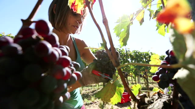 Woman harvesting grape in Tuscany video