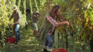 DS Woman harvesting grapes by hand in vineyard video