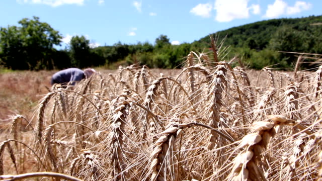 Woman harvesting ripe wheat video