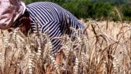 Woman harvesting ripe wheat video