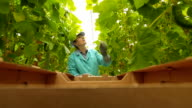 Woman harvests cucumbers in a greenhouse video