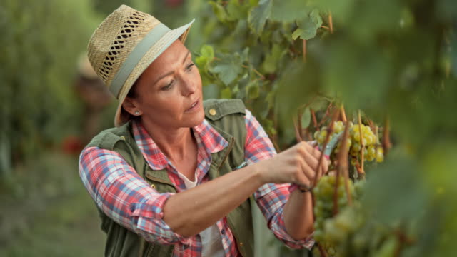 Woman in a straw hat harvesting grapes by hand video