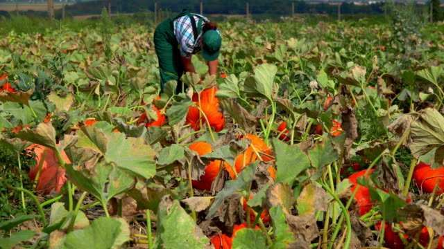 Woman in overalls walking in a field of pumpkins video