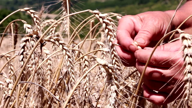 Woman inspecting the grains of ripe wheat video