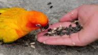 Woman is feeding colorful parrot on hand video