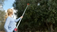A woman is harvesting olives from trees video