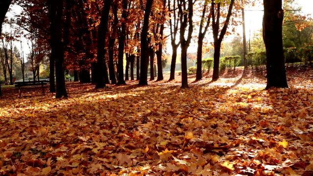 A woman is jogging in the park in autumn video