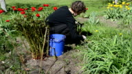 woman looks after tulip flower beds in spring garden video