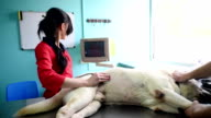Woman makes dog veterinal ultrasound in the clinic video