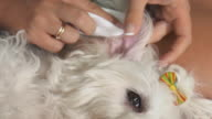 Woman Pet Owner Cleaning Ear To Small White Dog video