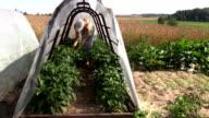 woman pick green chili pepper in mini glasshouse in garden video