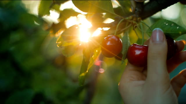 Woman picking cherry at sunset video