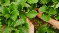 woman picking fresh strawberry in  strawberry farm video