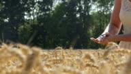 Woman picking fresh wheat on field video