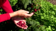 Woman picking ripe raspberries video