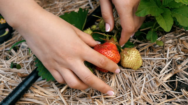 woman picking strawberries video