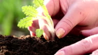 Woman planted a young plant in soil video