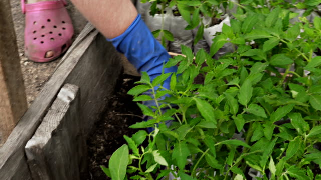 Woman selects tomato seedlings for planting on the plantation video