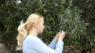 A woman smell the olive from a branch. video