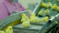 Woman Sorting Small chicks in Factory video