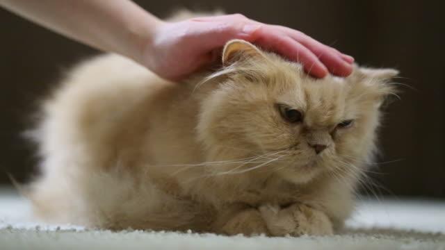 Woman tickling cat's head video