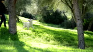 Woman walking with Labrador dog and warping a branch video