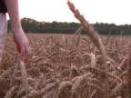 Woman walks into wheat field NTSC video