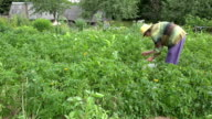 woman work in potato field. Plant protection colorado beetle. video