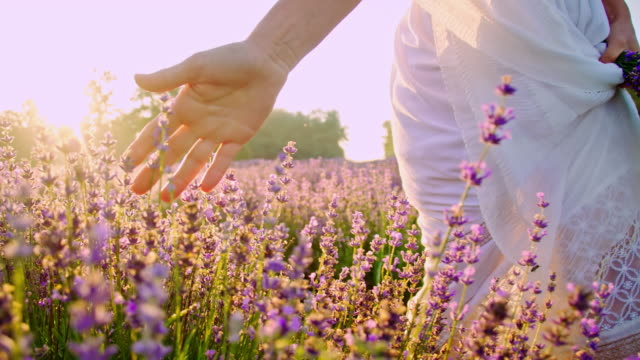 SLO MO Woman's hand caressing lavender in the field video
