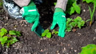 Woman's hand planting strawberry. video