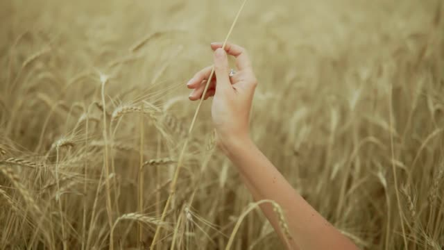 Woman's hand running through wheat field. Girl's hand touching wheat ears closeup. Harvest concept. Harvesting. Slow motion shot video