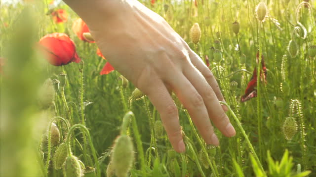 Woman's hand touching poppy. video