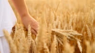 HD SLOW MOTION: Woman's Hand Touching Wheat video