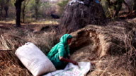 Women collecting silage for animal video
