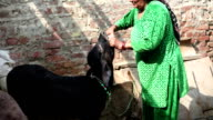 Women giving medicine to cattle video