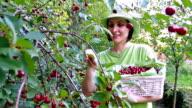 Women picked cherries video