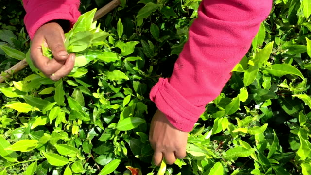 Women Picking Tea in Sri Lanka video