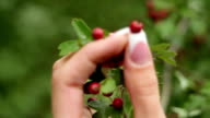 Women's hands holding ripe red berries, close-up video
