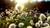 Wonderfull fluffy flowers video