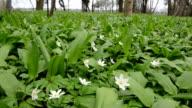 Wood Anemone and wild garlic video