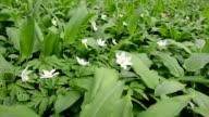 Wood Anemone (wind flower) video