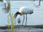 Wood Stork Swallowing Fish video