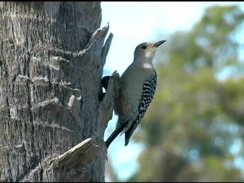 Woodpecker 1 video