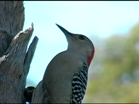 Woodpecker 2 video