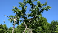 Woodpecker bird peck berry on cherry tree with hanging cd discs. video