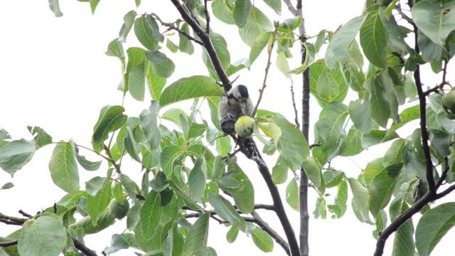 Woodpecker eats walnuts on a tree video