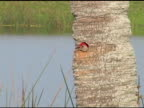 Woodpecker in palm trunk nest video