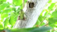 woodpecker nest video