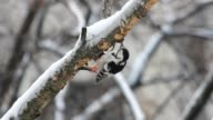 Woodpecker on the birch video
