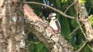 Woodpecker on the Oak Tree video
